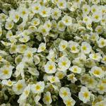 Helianthemum 'Snow Queen' - Zonneroosje