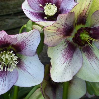Helleborus orientalis 'DOUBLE ELLEN Picotee' - Nieskruid - Helleborus orientalis 'DOUBLE ELLEN Picotee'
