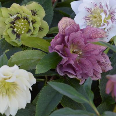 Helleborus orientalis Double Flowered Form -