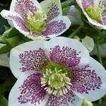 Helleborus orientalis 'Spotted hybrids' - Nieskruid - Helleborus orientalis 'Spotted hybrids'