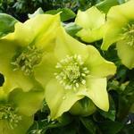Helleborus orientalis 'Yellow Lady' - Nieskruid - Helleborus orientalis 'Yellow Lady'