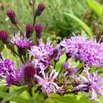 vernonia - Vernonia crinita