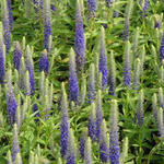 Veronica spicata 'Royal Candles' - Kleine maagdenpalm