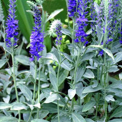 Veronica spicata subsp. spicata 'Silbersee' -