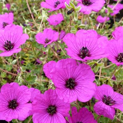 Geranium cinereum var. subcaulescens -