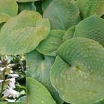 Hosta 'Bressingham Blue' - Hartlelie/Funkia - Hosta 'Bressingham Blue'