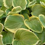 Hosta 'Clifford's Forest Fire' - Hartlelie / funkia