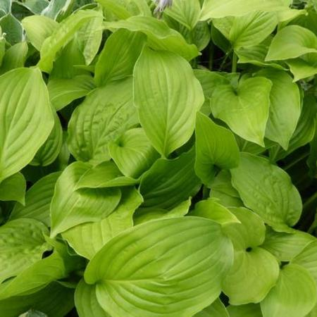 Hosta 'Hadspen White'