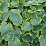 Hosta sieboldiana 'Frances Williams' - Hartlelie / Funkia - Hosta sieboldiana 'Frances Williams'