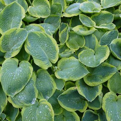 Hosta sieboldiana 'Frances Williams' - Hartlelie / Funkia