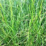 Juncus effusus f. spiralis - Kurkentrekkersgras - Juncus effusus f. spiralis