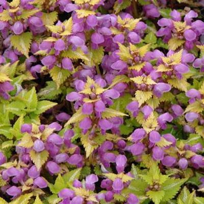 Lamium maculatum 'Aureum' - Gevlekte dovenetel - Lamium maculatum 'Aureum'