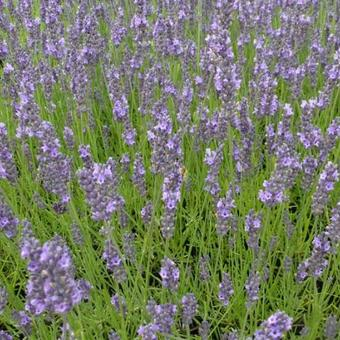 Lavandula x intermedia 'Arabian Nights'