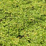Leptinella dioica 'Minima' - Koperknoopje, Speldenkussenplant - Leptinella dioica 'Minima'