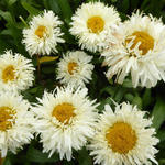 Leucanthemum x superbum 'King's Crown' - Margriet