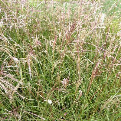 Miscanthus sinensis 'Aperitif' - Prachtriet - Miscanthus sinensis 'Aperitif'