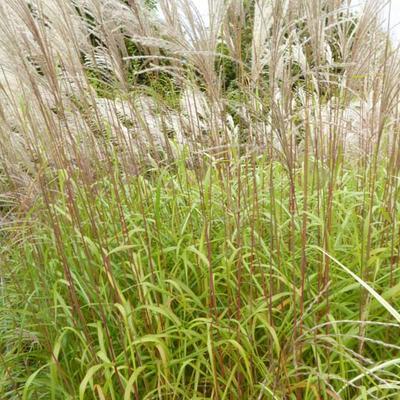 Miscanthus sinensis 'Blütenwunder' -