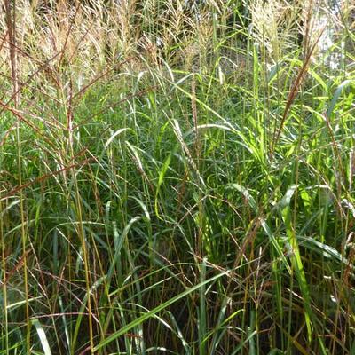 Miscanthus sinensis 'Grosse Fontäne' - Prachtriet - Miscanthus sinensis 'Grosse Fontäne'