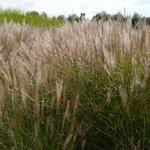prachtriet - Miscanthus sinensis 'Kleine Silberspinne'