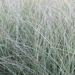 Prachtriet - Miscanthus sinensis 'Morning Light'