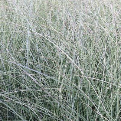 Miscanthus sinensis 'Morning Light' - Prachtriet - Miscanthus sinensis 'Morning Light'