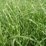 Miscanthus sinensis 'Zebrinus' - Prachtriet, Tijgergras - Miscanthus sinensis 'Zebrinus'