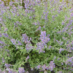 Nepeta faassenii 'Six Hill's Gold' - Kattekruid