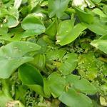Nuphar lutea - Gele plomp, Gele waterlelie, Gele waterroos - Nuphar lutea