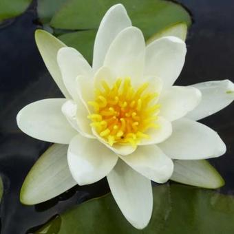 Nymphaea 'Richardsonii