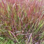 Panicum virgatum 'Külsenmoor' - Vingergras - Panicum virgatum 'Külsenmoor'