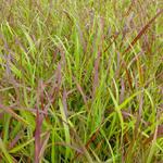 Panicum virgatum 'Rotstrahlbusch' - Vingergras - Panicum virgatum 'Rotstrahlbusch'