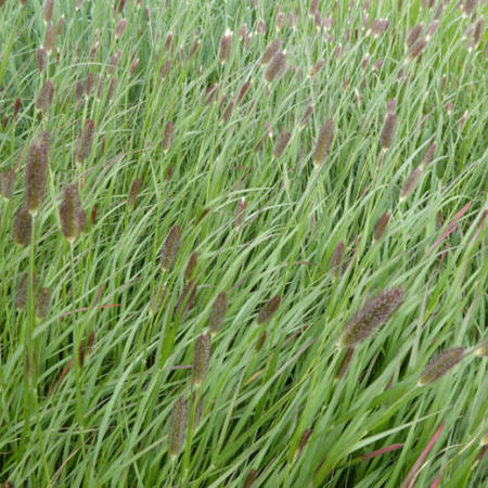 Pennisetum thunbergii 'Red Buttons'