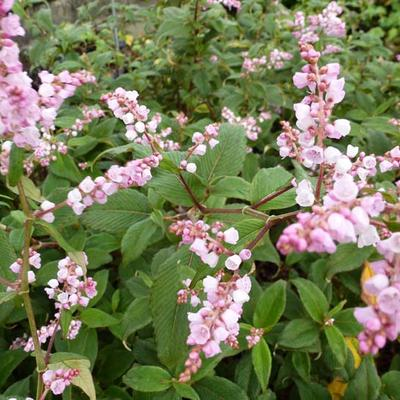 Persicaria campanulata -