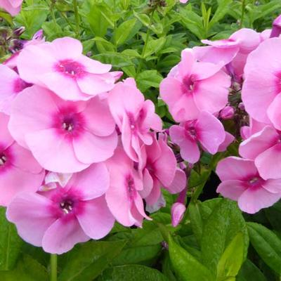 Phlox paniculata 'Jeff's Pink' -