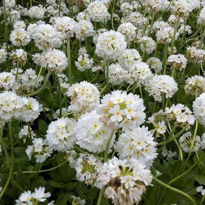 Primula japonica 'Alba' - Sleutelbloem / Japanse etageprimula - Primula japonica 'Alba'
