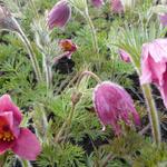Pulsatilla vulgaris 'Röde Klokke' - Wildemanskruid - Pulsatilla vulgaris 'Röde Klokke'
