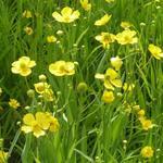 Ranunculus lingua -  Grote boterbloem - Ranunculus lingua