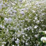 Ruit - Thalictrum delavayi 'Splendide White'