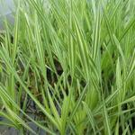 Typha latifolia 'Variegata' - Rietsigaren of de lisdodde - Typha latifolia 'Variegata'