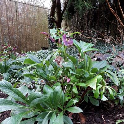 Helleborus orientalis 'Viv Victoria' -