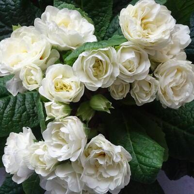 Primula vulgaris BELARINA 'Cream' -