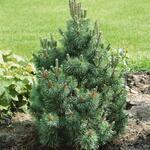 Pinus mugo 'Columbo' - Pinus mugo 'Columbo' - Bergden