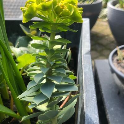 Euphorbia rigida -