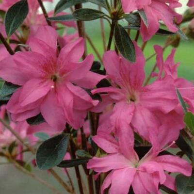 Rhododendron 'Roza' -