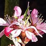 Prunus 'Comet' - Prunus 'Comet' - Sierkers