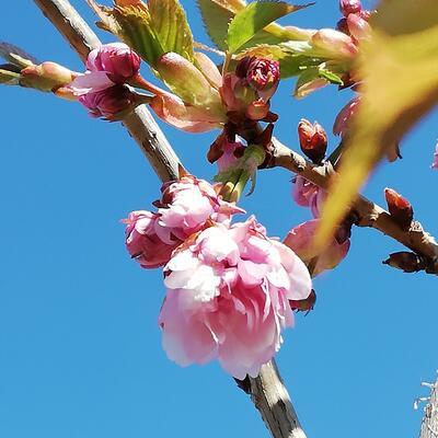 Prunus serrulata 'Kiku-shidare-zakura' -