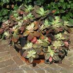 Echeveria gibbiflora var. metallica - Echeveria gibbiflora var. metallica - Echeveria