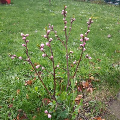 Prunus persica 'Saturne' -