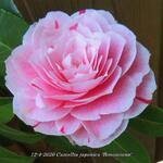 Camellia japonica 'Bonomiana' - Camelia - Camellia japonica 'Bonomiana'