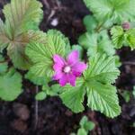 Rubus arcticus - Rubus arcticus - Arctische braambes, Dwergbraam, Poolbraam